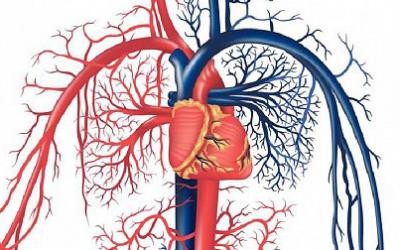 №20: Сърдечно-съдова система